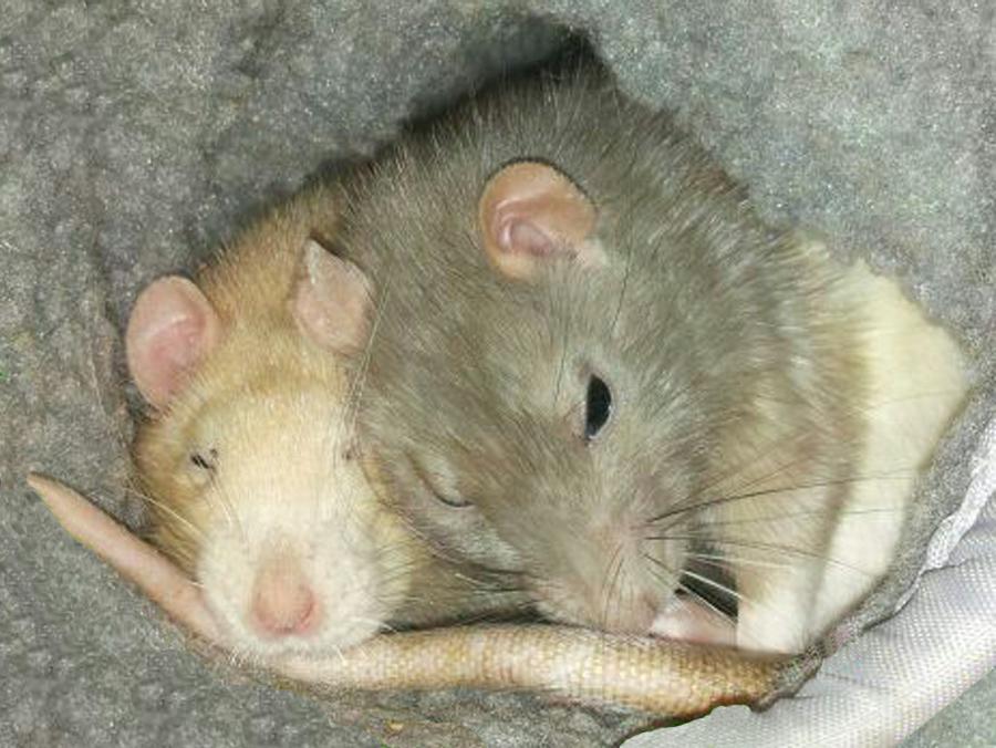 Ratten_media.jpg